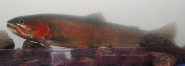 Phenotypical Alvord cutthroat trout in photoarium