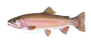 Alvord cutthroat trout by Joseph Tomelleri