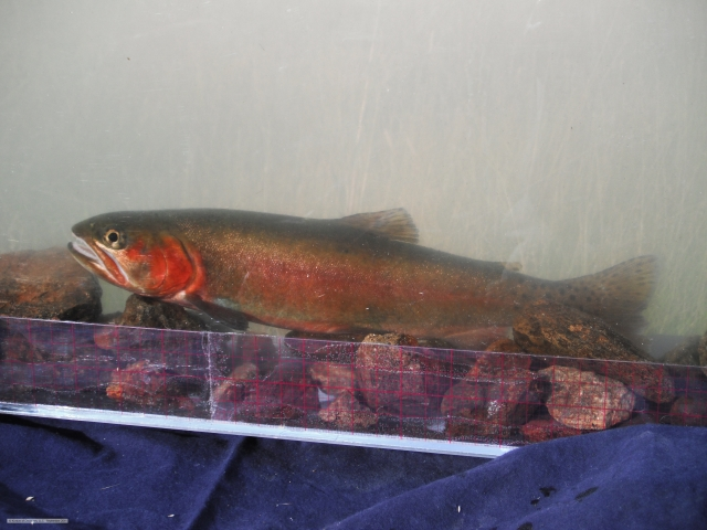 ACT Photarium - Red Trout!