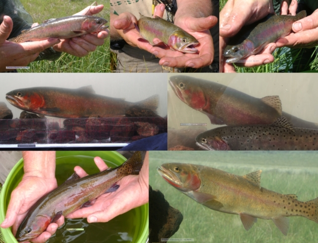 7 photos phenotypical Alvord cutthroat trout
