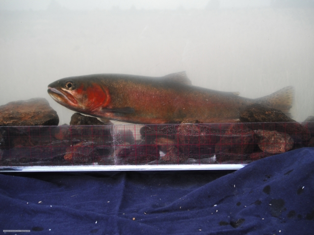 Alvord cutthroat trout phenotype in photoarium