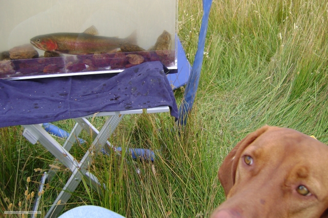 Hungarian Vizsla contemplating Alvord cutthroat trout...