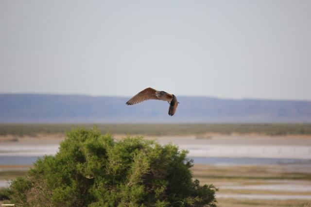 Flying Shorebird