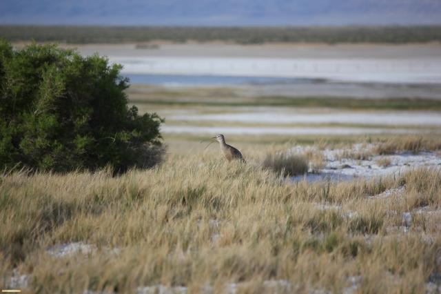 Squaking Shorebird