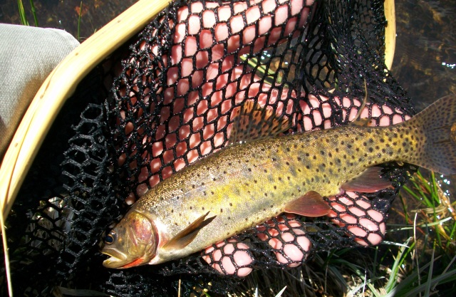 Lahontan Stream Resident 1-Netted